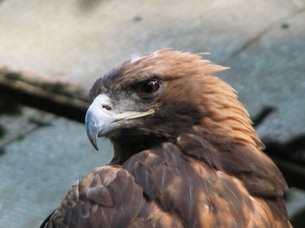 Aquila-chrysaetos-golden-eagle-0b